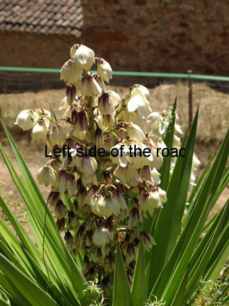 Yucca Plant in flower, Congost valley, Catalonia