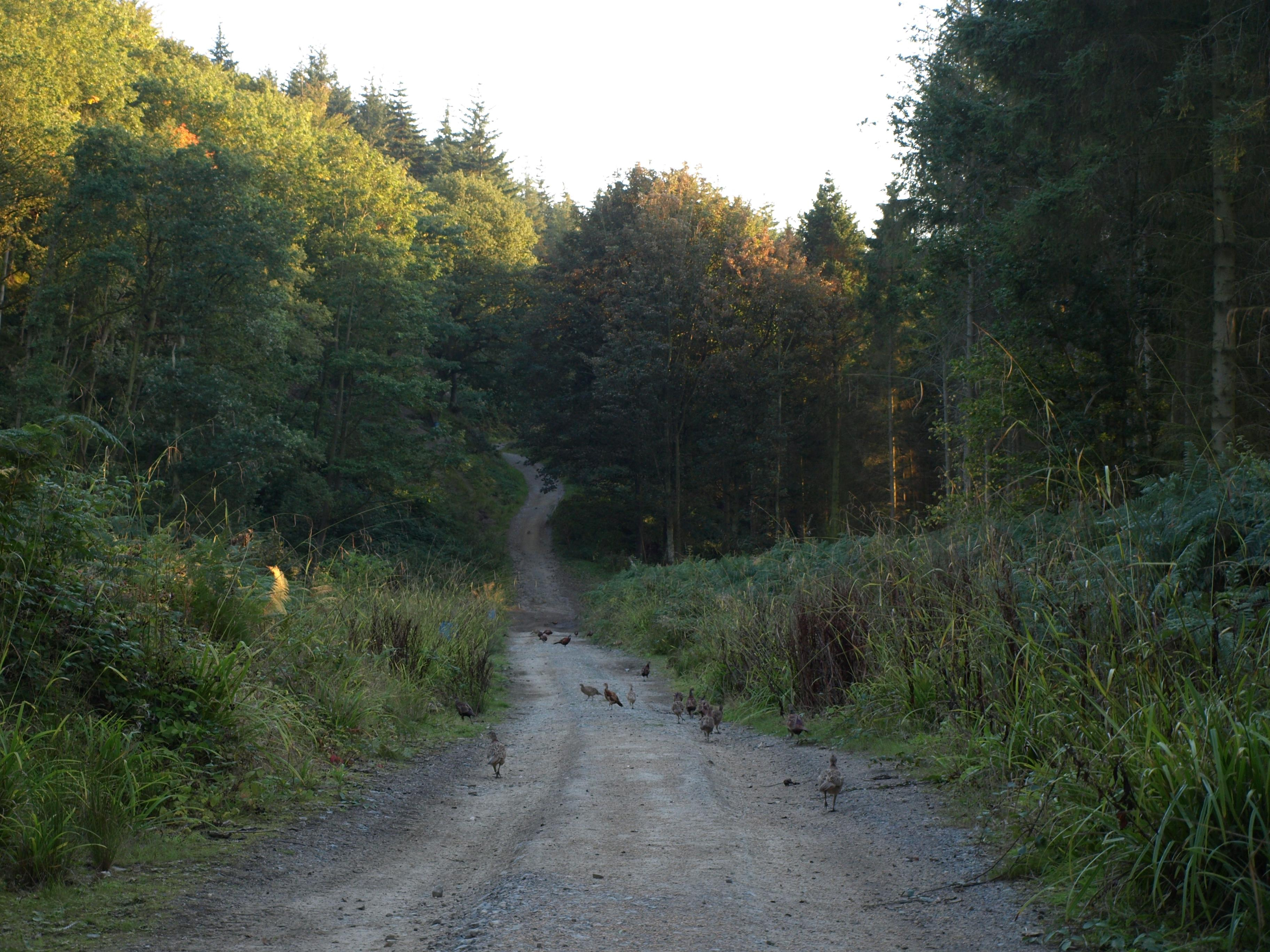 Pheasants on track - Arncliffe Wood - Osmotherly