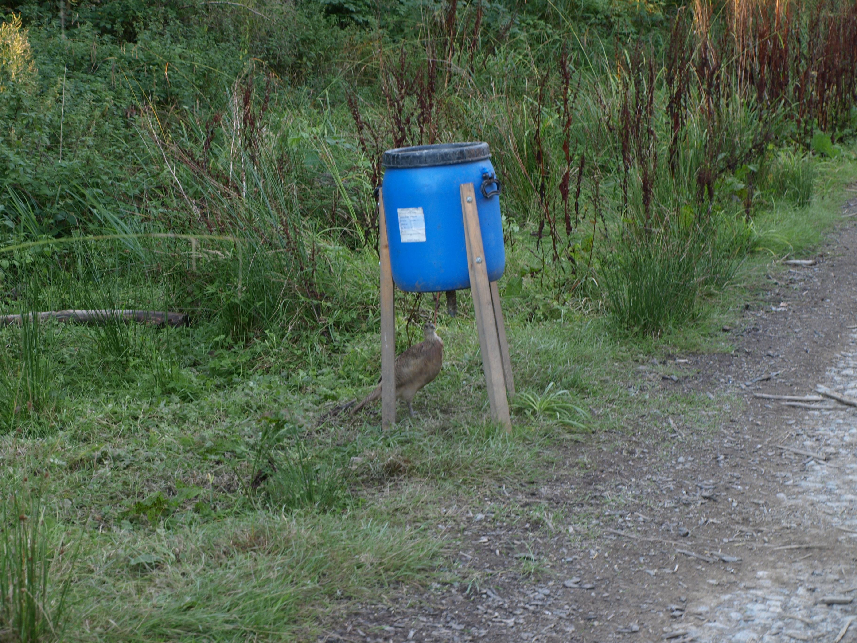 Pheasant Feeding - Arncliffe Wood - Osmotherly