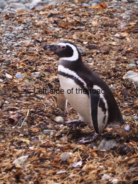Isla Magdelena Megellan Peguin Colony, Punta Arenas